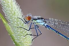 Isotytönkorento - Erythromma najas - Red-eyed damselfly (Henri Koskinen) Tags: erythromma najas isotytönkorento sudenkorento tytönkorento odonata damselfly dragonfly espoo kvarnträsk 08072017 redeyed