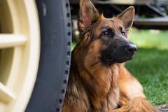 Under the Ice Cream Truck (Gareth_Pics) Tags: dog alsatian