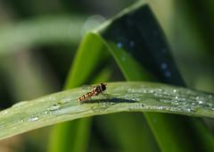 a moments rest (Johnson Cameraface) Tags: 2017 july summer olympus omde1 em1 micro43 zd zuiko macro 50mm f2 johnsoncameraface episyrphusbalteatus marmaladehoverfly reeds dew earlymorning
