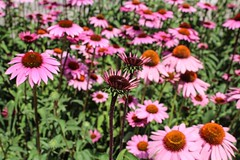 Pink Coneflowers (emilyhanson2) Tags: floral flower blossom bloom coneflower pink