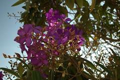 Jataí, Goiás, Brasil (Proflázaro) Tags: brasil goiás jataí flor natureza ecologia jardim cerrado cidade planta