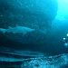 Grey nurse shark at Bondi - Carcharius taurus