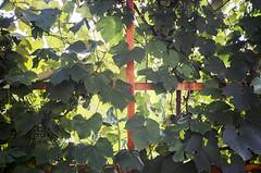 grapevine (brenkee) Tags: grape vine green film analog pointandshoot pns superia buyfilmnotmegapixels filmisnotdead 35mm 28