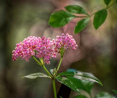 Pretty In Pink (Wes Iversen) Tags: burton formarnaturecenter michigan nikkor80400mm blooms blossoms bokeh buds flowers leaves nature wildflowers asclepiasincarnata swampmilkweed formarnaturepreservearboretum