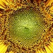 Sunflower 7/23/17 (dianecordell) Tags: flowers sunflower quotes art artist july summer hoveypondpark queensburyny garden petals seeds