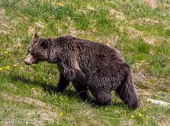 Mama Grizzly (maureen.elliott) Tags: bear grizzly wildlife animal banff lakelouise rockymountains alberta