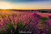 Lavanda (esteban.crespofernandez) Tags: lavanda lavande lavender españa spain espagne guadalajara brihuega nikon d5200 tokina atardecer sunset couche de soleil