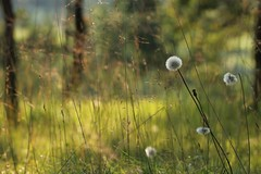 Campo dei miracoli. (2) (SimonaPolp) Tags: flowers field summer july grass wildflower sun light sunlight wind nature bokeh poetry