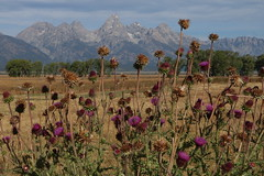 can't see the mountains for the thistles (Glenna Barlow) Tags: grandtetonnationalpark tetons mountains wyoming landscape nature thistle john moulton cabin