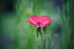 dream a little dream (***étoile filante***) Tags: flower blume meadow wiese nature natur beauty beautiful dof bokeh grass gras
