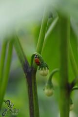 Macro-LadyBugs_201 (ZieBee Media) Tags: ladybug garden