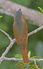 EC17b00468a (jerryoldenettel) Tags: 170702 2017 becard ecuador pachyramphus pachyramphusminor passeriformes pinkthroatedbecard sachalodge tityridae bird passerine