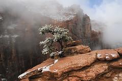 Lone Pine growing on slickrock (Thankful!) Tags: zion zionnationalpark mist fog snow sunshine spring summer eastside zioncanyonoverlook tree lonetree slickrock desert