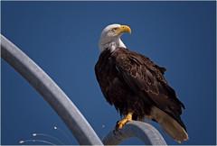 lamppost eagle (marneejill) Tags: bald lamppost french creek marina