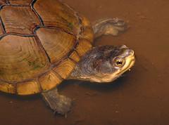 Arizona mud turtle Kinosternon arizonense (Michael Cravens) Tags: arizona mud turtle kinosternon arizonense