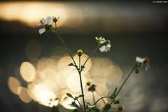Wildflowers (Iyhon Chiu) Tags: wildflowers wild flower 花 野花 新店 植物 光 marco floral