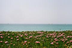 Horizon (howareyouSATAN) Tags: canonae1 canon50mm18 canon film 50mm flowers nature boats horizon blue sky green pink purple shore beach sea