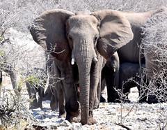 Out of the bush. (pstone646) Tags: elephants animals wildlife pachiderms nature mammals africa namibia fauna etosha ngc trave