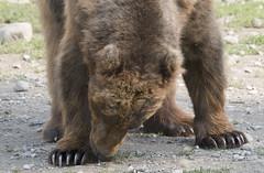 Brown bear Alaska zoo Anchorage