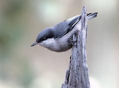 Pygmy Nuthatch (Sitta pygmaea); Santa Fe National Forest, NM, Thompson Ridge [Lou Feltz] (deserttoad) Tags: wildlife nature newmexico mountain desert bird wildbird nuthatch behavior