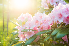 Blossom (laurilehtophotography) Tags: kesä2017 suomi finland jyväskylä leppälahti summer flower garden blossom sun sunflare green nature colours bokeh nikon d610 tamron 2470mm amazing kukka luonto photography laurilehtophotography instagram