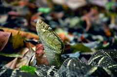 Terciopelo (RazaVerde.com) Tags: terciopelo bothrops asper snake serpiente tropical forest costa rica piro osa conservation esencial wildisallaround razaverde ferdelance