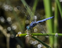 Blue Dragonfly And Specular Highlights (Bill Gracey 15 Million Views) Tags: dragonfly oncameraflash santeelakes blue specularhighlights nikonsb700 tripod nature color colorful naturalbeauty detail