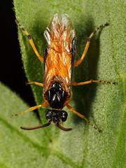 EOS 7D Mark II_051346 (Gertjan Kamsteeg) Tags: animal invertebrate bug insect sawfly argidae argidsawfly argeochropus rosesawfly arginae macro