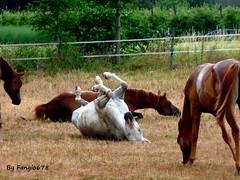 Groupe de chevaux avec poulains (fangio678) Tags: wolxheim animaux jument poulain nature campagne