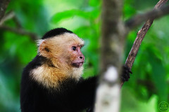Whtie Faced Capuchin (C McCann) Tags: manuelantonio whtie faced capuchin whtiefacedcapuchin monkey primate national park quepos costarica