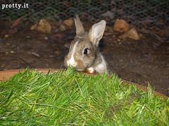 20 (Protty coniglio nano) Tags: coniglio conigli protty bunny bunnies rabbit rabbits kaninchen lapin coniglietti coniglionano prottyit coniglinani oryctolagus oryctolaguscuniculus