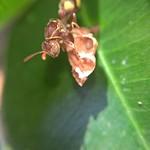 Paper Wasp thumbnail