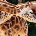 giraffe amersfoort BB2A4820