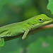 baby Anole