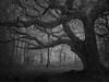 Mighty Oak (Glenn D Reay) Tags: oak tree woodland mysterious eerie dark mood moody blackandwhite mono branches ir infrared 720nm olympusep1 olympus1442iir glennreay