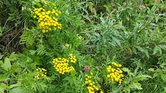 Wildflowers (Linda DV) Tags: belgium lindadevolder 2017 brussels geomapped geotagged pond forest samsung galaxy note4 ribbet tanacetumvulgare eupatoriumcannabinum
