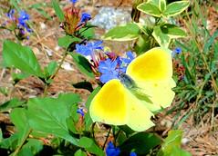 Citron 05 (jean-daniel david) Tags: papillon papilloncitron citron insecte insectevolant jaune fleur fleurbleu nature closeup vert bleu fabuleuse