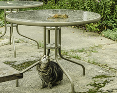 don't worry the cat never wins (TAC.Photography) Tags: chipmunk cat lunch table games tomclarkphotographycom tomclark tacphotography