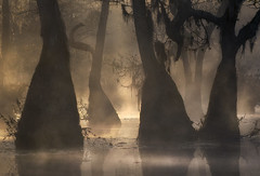 Primordial (Appalachian Hiker) Tags: sunrise swamp mist fog atmosphere tupelo cypress trees moody light dark
