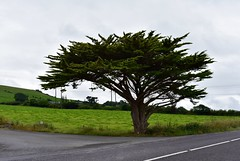 Onze favoriete boom in Ierland ;-)