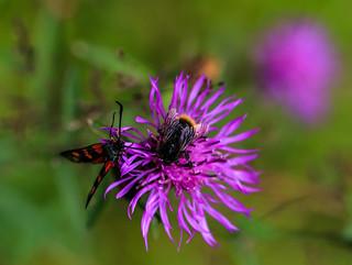 Hummel und Schmetterling