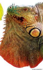 "Nº-248 ""IGUANA CARIBE DELICATISSIMA"".PN.TORTUGUERO (COSTA RICA)BACKLIGHT (Jordi Camardons Caralt) Tags: iguanacaribedelicatissima iguana reptiles costarica centroamerica pntortuguero iguanidos escamas sangrefria fauna animales iguanidae"