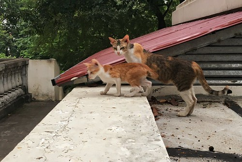 Wat Phnom cats