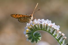 Bräunlicher Scheckenfalter (Melitaea trivia) (AndreLo2014) Tags: scheckenfalter melitaea türkei turkey macro tagfalter nature schmetterling butterfly sony sigma105mm bräunlicher trivia