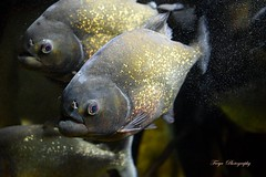 Eaten by piranhas... (Maria Godfrida (absent for a while)) Tags: animals fish fauna closeup tamron couple pair two dangerous natura aquaticanimal aquarium
