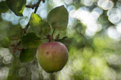Apple (jillyspoon) Tags: apple appletree leaves green lensbaby sweet35 lens canon70d health growing tree fruit fiveaday hanging sweet 35 seeinadifferentwhereareyou bokeh light circles