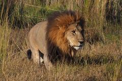 P7220208 (hugoholunder) Tags: botswana löwe wildnis südafrika juli 2017 gras flickr