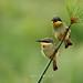 Blue-breasted Bee-eater (Merops variegatus)