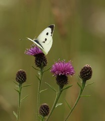 Large White on Knapweed - Anston Stones Wood (westoncfoto) Tags: astonstoneswood magnesianlimestone meadow flowers orchids butterflies spider