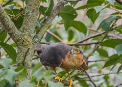 Sparrowhawk ( Accipiter nisus Male (Dale Ayres) Tags: sparrrowhawk accipiter nisus male bird nature wildlife